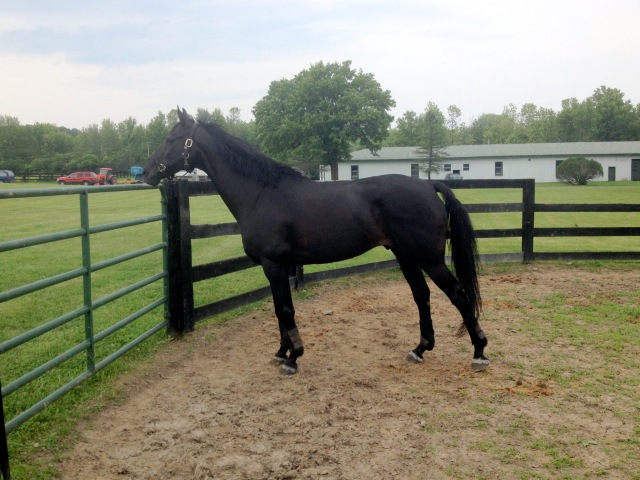Sky is rehabbing damaged hind supensories at NYEF at Clermont Farms as a part of the Draper Therapies R&R Program
